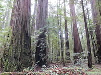 Humbolt Redwood Forest